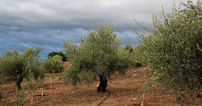 The new harvest of olive oil has already started