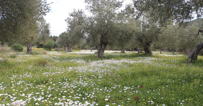 The taste and quality of Koroneiki variety of extra virgin olive oil
